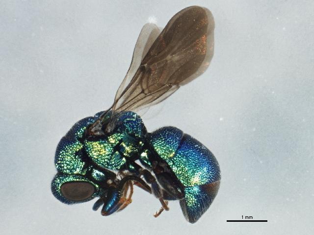 Image of Hedychrum Latreille 1802