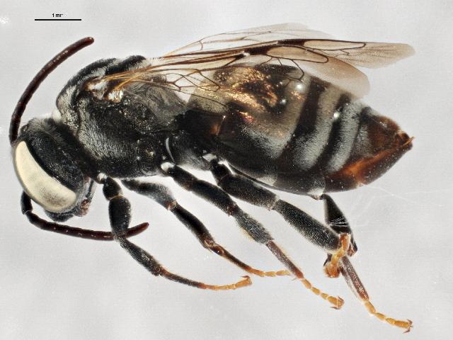 Image of <i>Triepeolus utahensis</i> (Cockerell 1921)