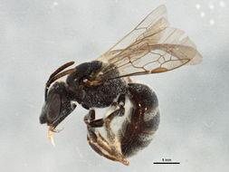 Image of <i>Lasioglossum robertsoni</i> (Crawford 1906)
