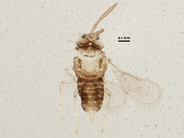 Image of <i>Encarsia berlesei</i> (Howard 1906)