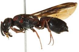 Image of <i>Parancistrocerus histrio</i> (Lepeletier 1841)