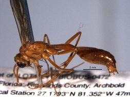 Image of rhopalosomatid wasps