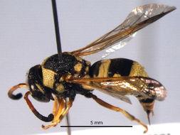 Image of <i>Euodynerus auranus</i> (Cameron 1906)