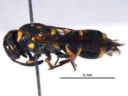 Image of <i>Parancistrocerus fulvipes rufovestis</i> Bohart 1948