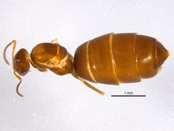 Image of Rover ants