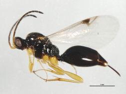 Image of Proctotrupes Latreille 1796