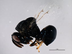 Image of perilampid wasps