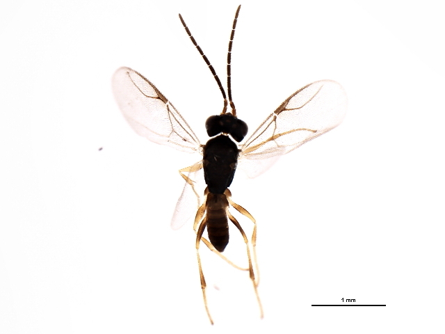Image of Gonatopus