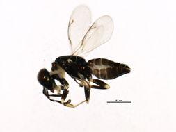 Image of <i>Brasema macrocarpae</i>