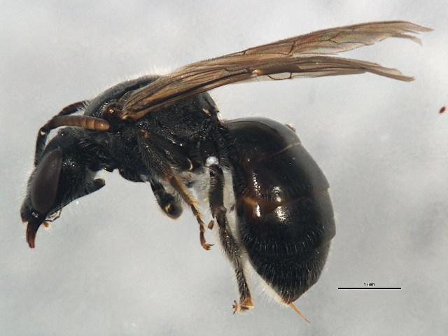 Image of <i>Lasioglossum inconditum</i> (Cockerell 1916)