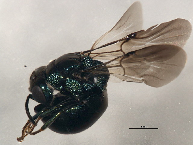Image of <i>Hedychridium solierellae</i>