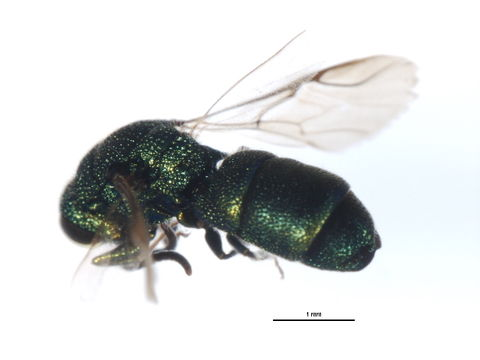 Image of <i>Trichrysis doriae</i>