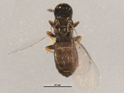 Image of <i>Melittobia acasta</i> (Walker 1839)