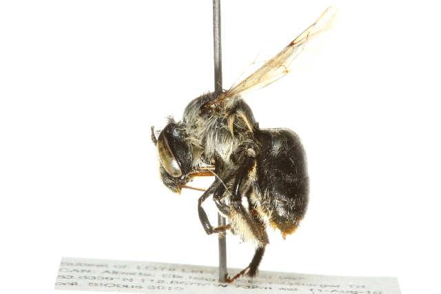 Image of <i>Anthophora furcata</i> (Panzer 1798)