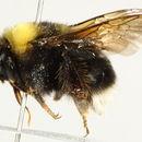 Image of <i>Bombus <i>occidentalis</i></i> occidentalis