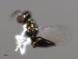 Image of <i>Achrysocharoides cilla</i> (Walker 1839)
