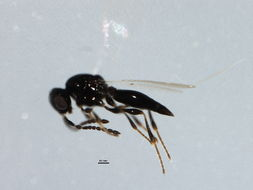 Image of <i>Platygaster sagana</i> Walker 1836