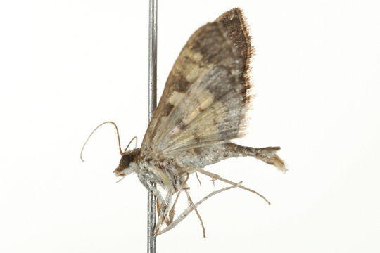 Image of <i>Diacme adipaloides</i>