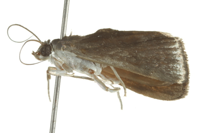 Image of <i>Alatuncusia bergii</i> Möschler 1889