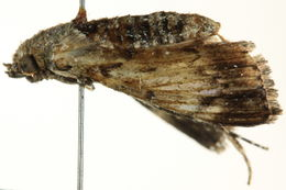 Image of <i>Macalla thyrsisalis</i> Walker 1859