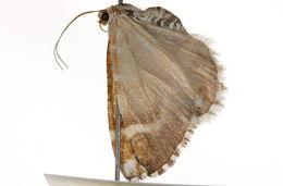 Image of <i>Marmopteryx marmorata</i> Packard 1896