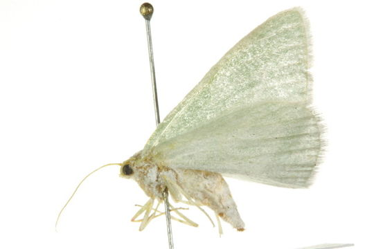 Image of Chlorosea