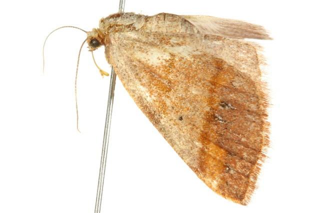 Image of <i>Drepanulatrix bifilata</i> Hulst 1880