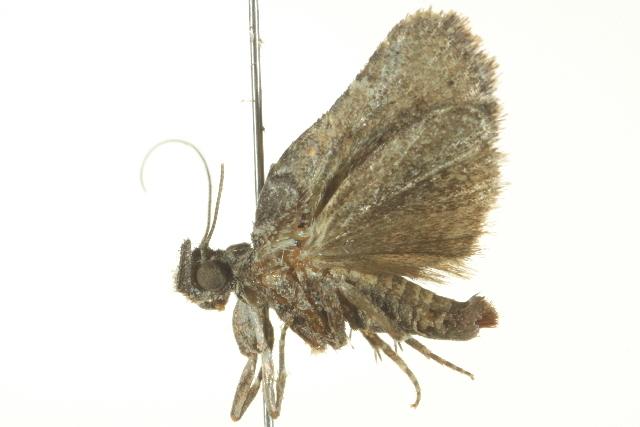 Image of <i>Satole ligniperdalis</i> Dyar 1908