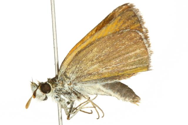 Image of Garita Skipperling