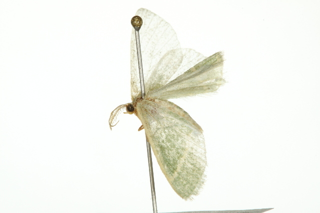 Image of <i>Chlorochlamys triangularis</i> Prout 1912