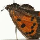Image of Small Copper