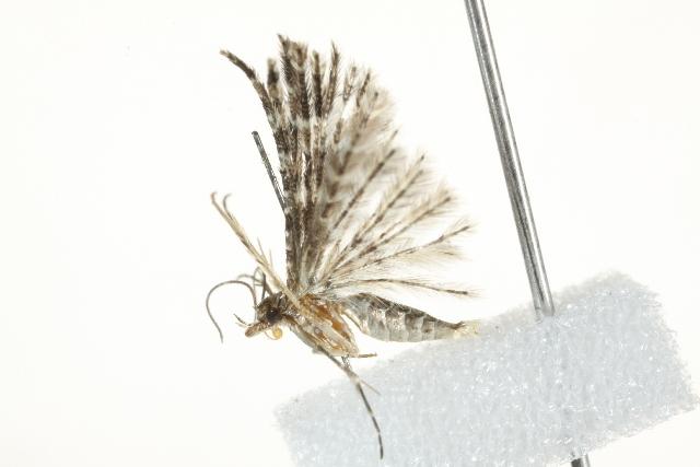 Image of <i>Alucita lalannei</i> Landry & Landry 2004