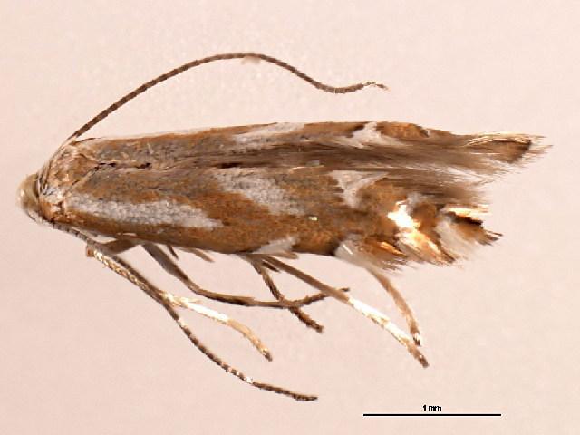 Image of <i>Phyllonorycter ledella</i> (Walsingham 1889)