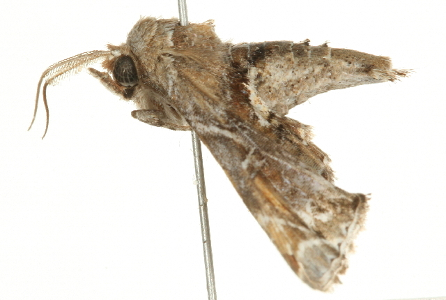 Image of <i>Eutelia furcata</i> Walker 1865