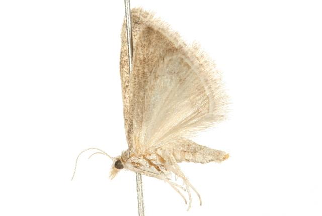 Image of Cymbopteryx