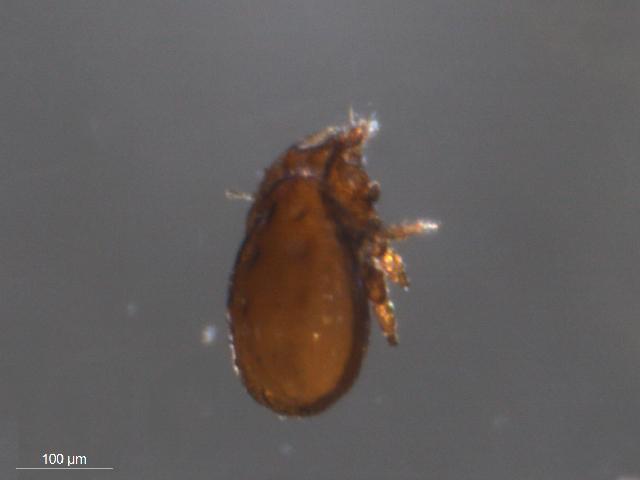 Image of <i>Tectocepheus sarekensis</i>
