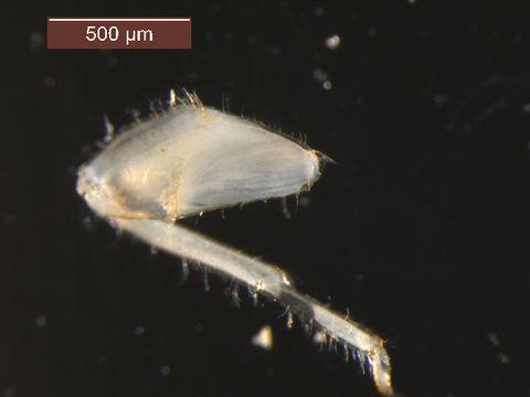 Image of <i>Vacupernius packeri</i> (Allen 1967)