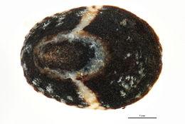 Image of <i>Lottia paradigitalis</i> (Fritchman 1960)