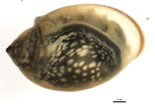 Image of <i>Physella ancillaria</i> (Say 1825)