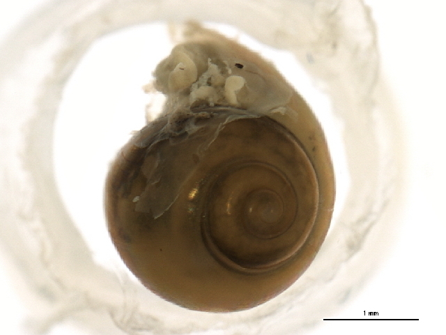 Image of <i>Physa jennessi</i>