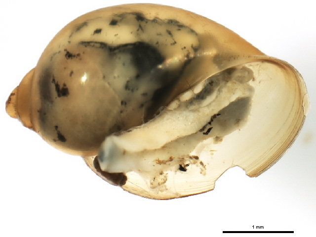 Image of acute bladder snail