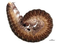 Image of Cleidogonidae