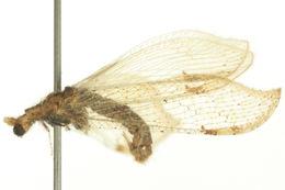Image of <i>Lomamyia squamosa</i> Carpenter 1940