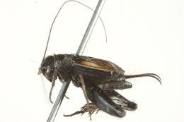Image of Gray Ground Cricket