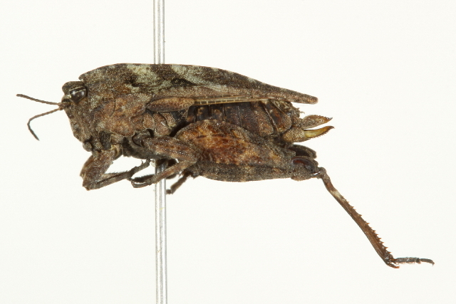 Image of crested grouse locust