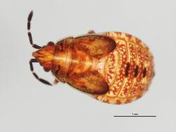 Image of Birch Catkin Bug
