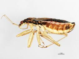 Image of <i><i>Nabicula</i></i> (Nabicula) <i>flavomarginata</i> (Scholtz 1847)