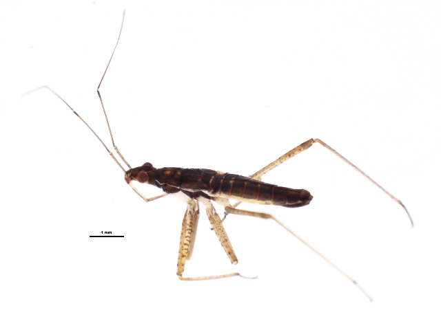 Image of <i>Nabicula</i> (<i>Dolichonabis</i>) <i>nigrovittata</i> (Sahlberg 1878)