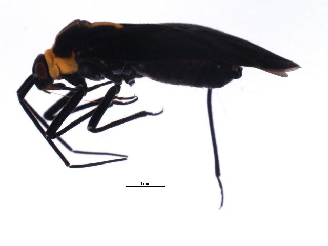 Image of <i>Prepops rubellicollis</i> (Knight 1923)