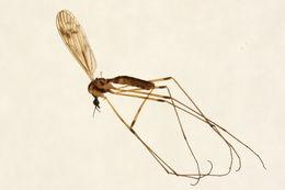 Image of <i>Limonia indigena</i> (Osten Sacken 1860)